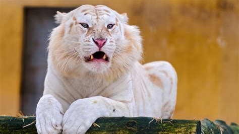 snow white tiger wallpapers hd wallpapers id