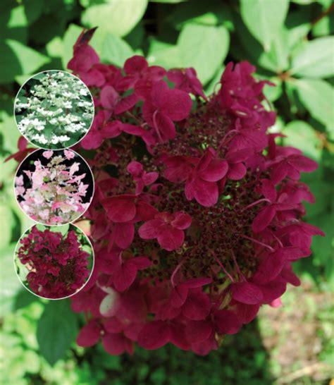 wims hortensie hydrangea paniculata wim s schapenkop buxuskoning