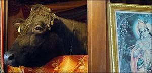 CBBC Newsround   Animals   'Sacred' bull taken to be killed  Shambo