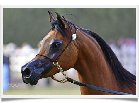 horse cost much arabian does horses believe won