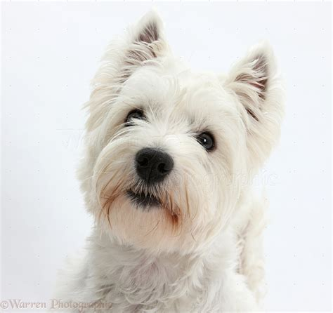 Longtime jeopardy! host alex trebek has selected an unlikely candidate to be his successor: Dog: Westie portrait photo WP20796