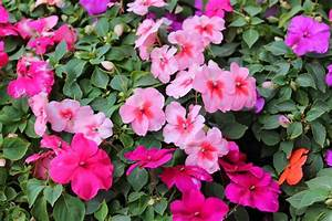 Blumen Für Schatten : pictures of impatiens flowers beautiful flowers ~ Whattoseeinmadrid.com Haus und Dekorationen