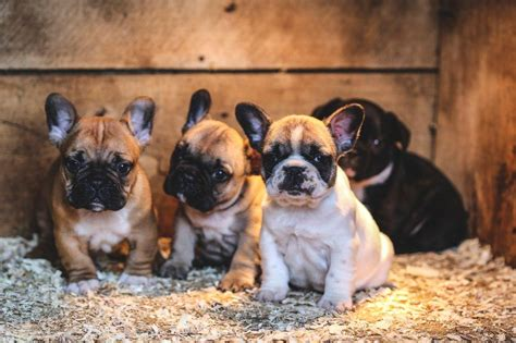 Dogs French Bulldog And French Bulldog Puppies T