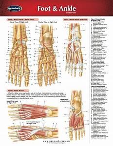 Foot  U0026 Ankle Chart