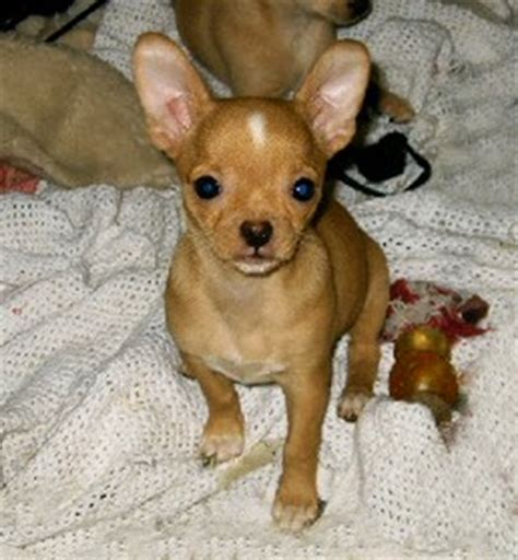 tinkerbelle chihuahua   beautiful puppies