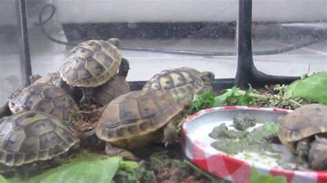 nos tortues d hermann et grecque juv 233 niles b 233 b 233 testudo hermanni et graeca terrarium