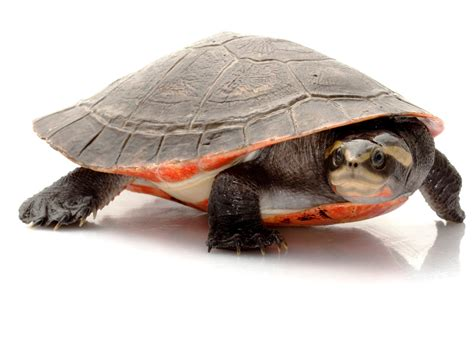 sideneck turtle pink belly sideneck turtle reptiles world