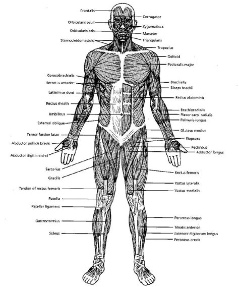 There is an unlabeled diagram in the end of the article for readers to practice labeling. Pin on Muscular System