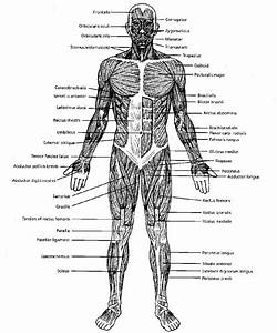 Black And White Muscular System Diagram Label Muscles     In 2019