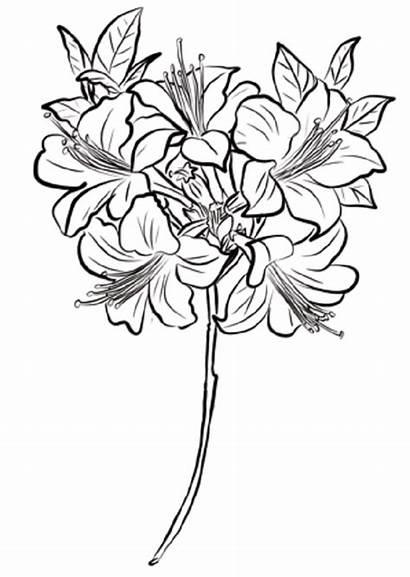 Colorear Coloring Dibujos Azalea Flores Dibujar Dibujo