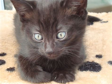 gorgeouse baby girl cuddly fluffy black kitten stafford