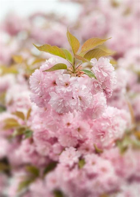 Sakura Cherry Blossom Branch Stock Photo Image of