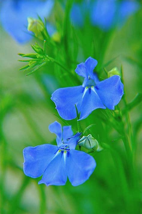 blue lobelia blue lobelia flower flowers gardens pinterest