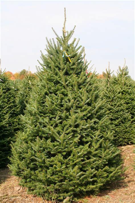 balsam fir tree water big trees 4u select your tree