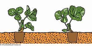Erdbeeren Richtig Pflanzen : erdbeeren ~ Lizthompson.info Haus und Dekorationen