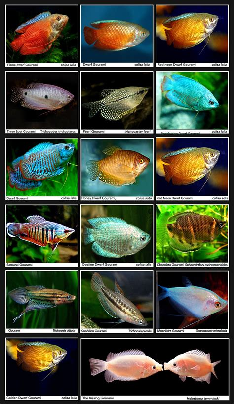 types  dwarf gourami bing images tropical fish