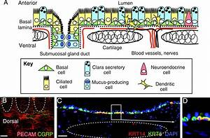 Airway Basal Stem Cells  A Perspective On Their Roles In
