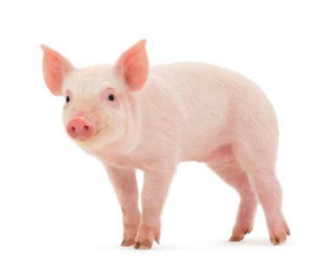 la cuisine au quotidien quelle viande de porc acheter la tendresse en cuisine