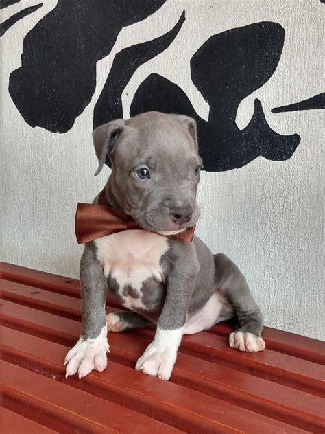 pitbull blue cachorros lineas importadas  en