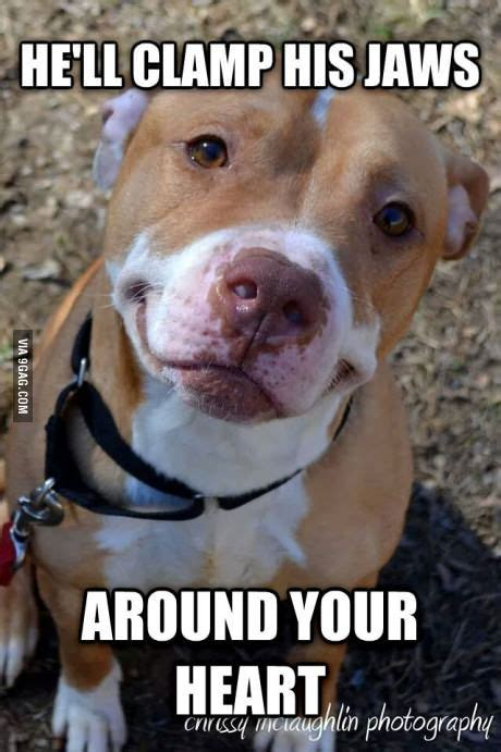 Pitbull Puppy Meme - 120 best images about pit bull memes on pinterest pets pit bull and dog shaming