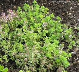 What Does the Herb Thyme Look Like