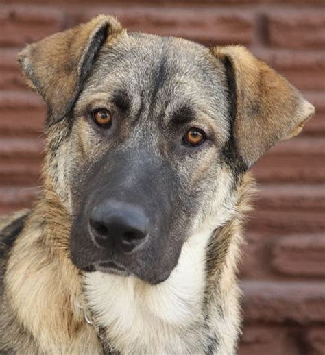 german anatolian shepherd dog breed info pictures