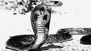 King Cobra Pics Snake Wallpaper