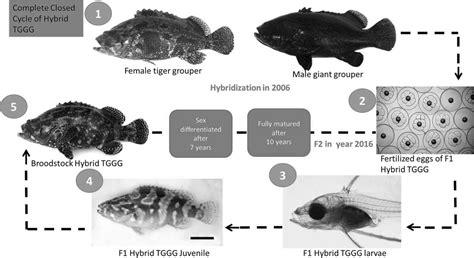 grouper hybrid larval lanceolatus epinephelus f2 giant fig groupers embryonic spawning tiger development natural