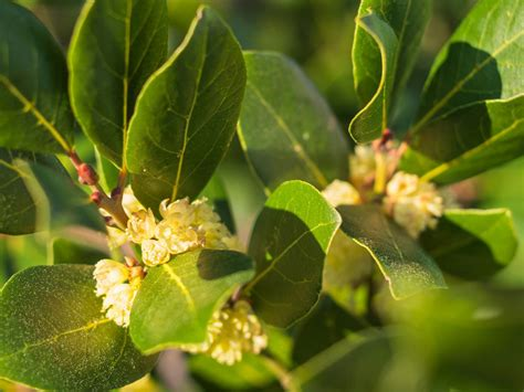 Yellow Leaves On Bay Laurel: Diagnosing A Yellow Bay ...