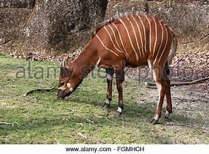Female Bongo antelope (Tragelaphus eurycerus) - Burgers ...