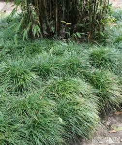 Landscaping Mondo Grass