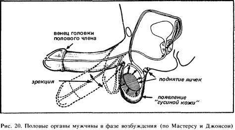 Процесс возбуждения полового органа