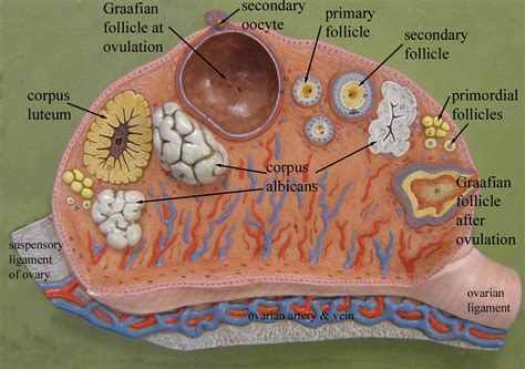 Chapter 28 Anatomy Physiology 216 With Fluker At