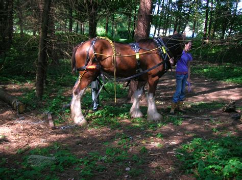 horse clydesdale logging draft wood larch logs horses wikipedia file scotland wiki park harness dic pixels