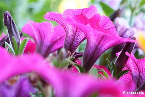 how far apart to plant petunias petunia flowers how to plant grow and care from seeds plantopedia