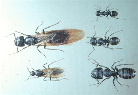 carpenter ants pest doc pest control dayton ohio exterminators dayton ohio