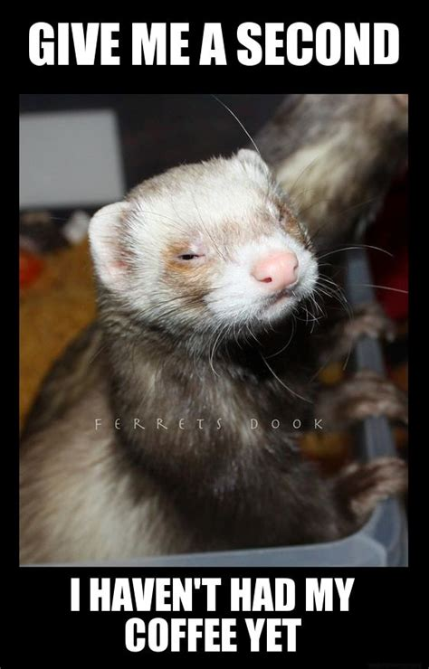 Ferret Meme - 517 best ferrets images on pinterest ferrets funny ferrets and funny animal