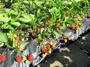 Plant De Fraise : ma fraiseraie ma passion du verger ~ Premium-room.com Idées de Décoration