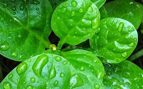 inilah  manfaat daun binahong   mengejutkan
