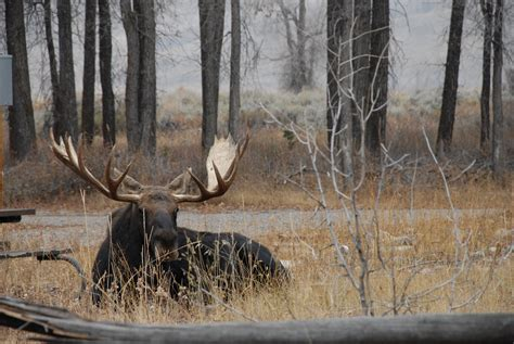 actions   protect people moose  gros ventre