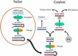 Overview Of Mirna Biogenesis And Function  Mirnas Are T