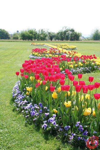 Bulbi Tulipani Quando Piantarli by Tulipani Narcisi Giacinti Quando Piantarli Casa E Trend