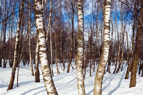 Birkenwald Im Winter Und Blauer Himmel  Stockfoto Colourbox