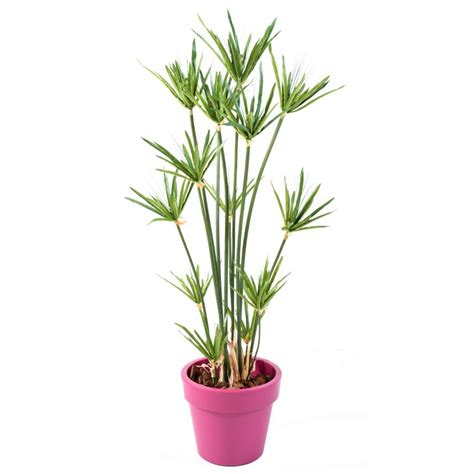 papyrus artificiel en pot green basic top planter