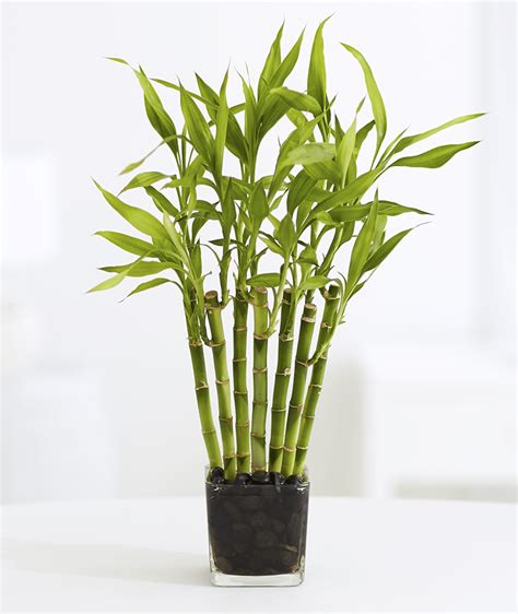 bamboo plants 10 plants you can t kill no green thumb needed proflowers blog