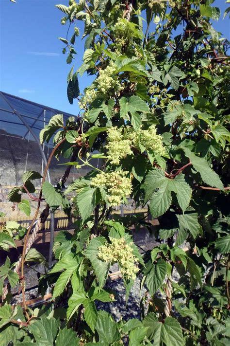 breeding hop varieties  north carolina nc state extension