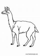 Coloring Llama Pages Animals Print Guinea Pig sketch template