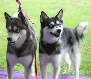 Pomsky: a complete guide on the husky Pomeranian mix