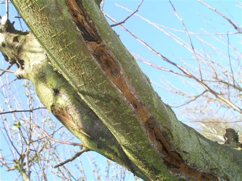 apfelbaum krankheiten stamm riss im stamm pflanzenkrankheiten sch 228 dlinge green24 hilfe pflege bilder