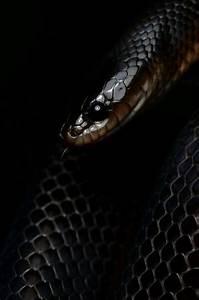 Black King Snake Wallpaper | www.pixshark.com - Images ...